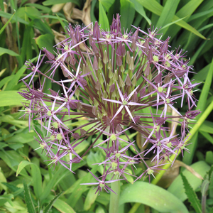 Allium Christophii Bulbs