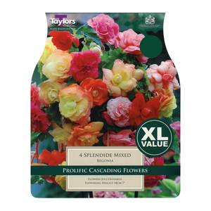 Taylors Spendide Begonias Mixed (4 pack)