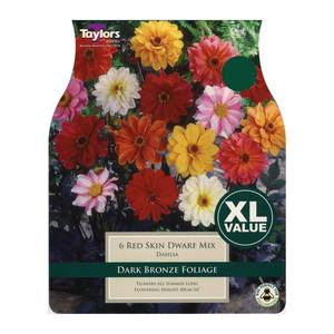 Taylors Red Skin Dwarf Dahlias (6 pack)