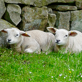 Lambing Products