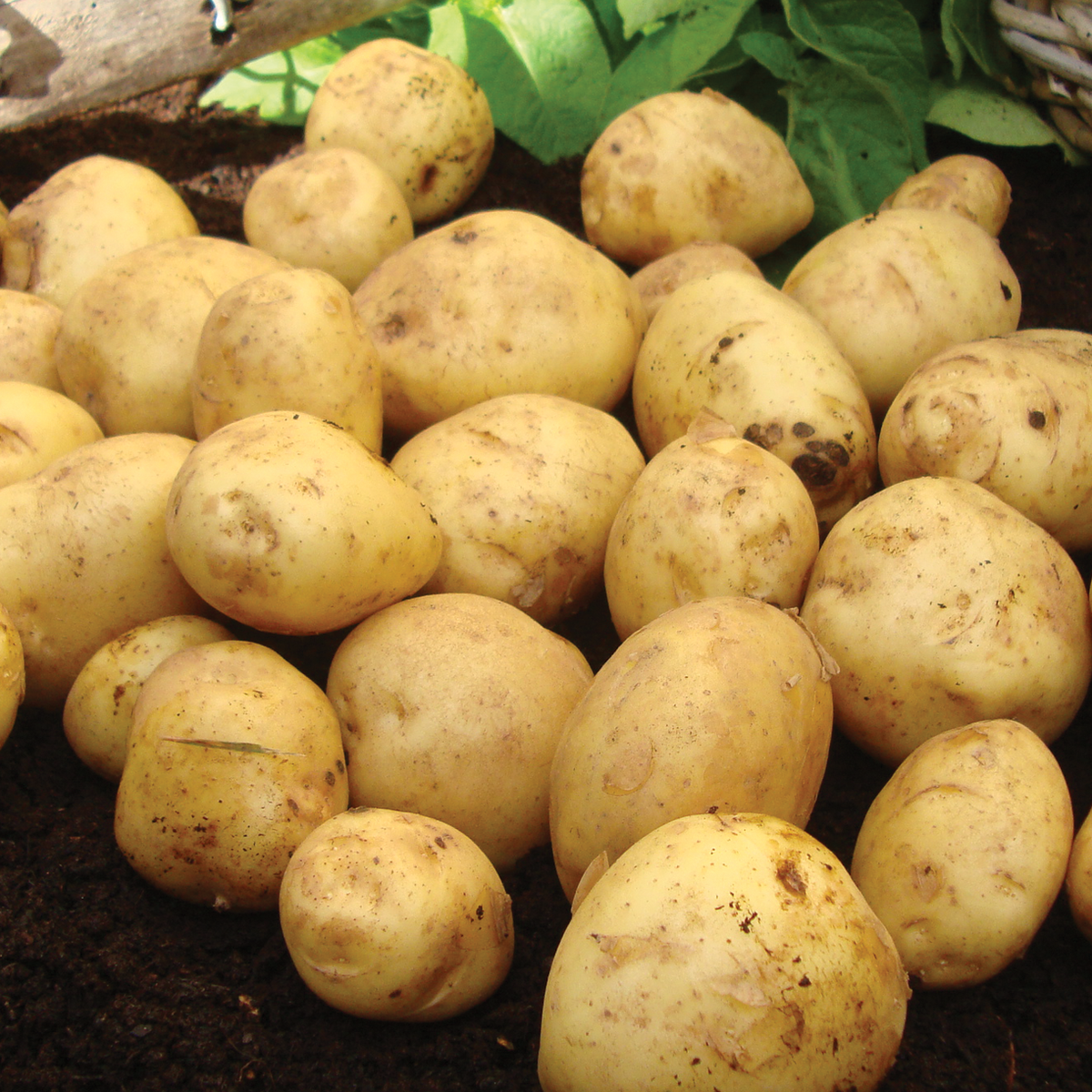 British Queen Second Early Seed Potatoes 2kg